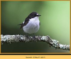 pied-flycatcher-11.jpg