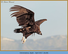 black-vulture-28.jpg