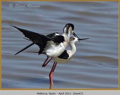 black-winged-stilt-47.jpg