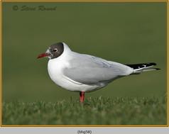 black-headed-gull-58.jpg