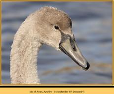 mute-swan-14.jpg