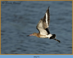 black-tailed-godwit- 77.jpg
