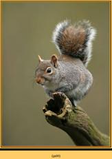 grey-squirrel-9.jpg