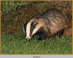 badger-18.jpg