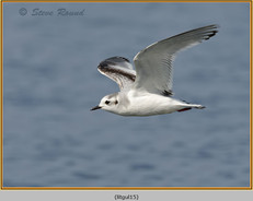little-gull-15.jpg