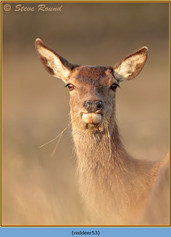 red-deer-53.jpg