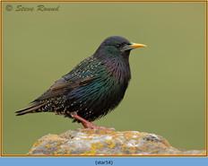 starling-54.jpg