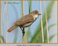 reed-warbler-01.jpg