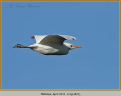 cattle-egret-40.jpg