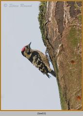 lesser-spotted-woodpecker-03.jpg