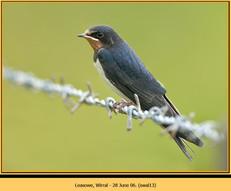 swallow-13.jpg