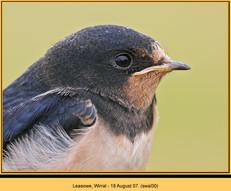swallow-30.jpg