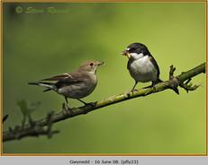 pied-flycatcher-23.jpg