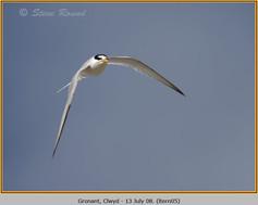 little-tern-05.jpg