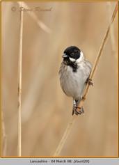 reed-bunting-29.jpg