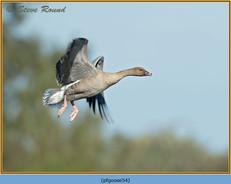 pink-footed-goose-54.jpg