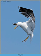 lesser-black-backed-gull-105.jpg