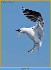 lesser-black-backed-gull-105.jpg