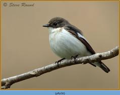 pied-flycatcher-50.jpg