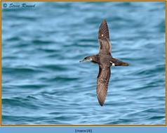 manx-shearwater-18.jpg