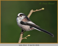 long-tailed-tit-28.jpg