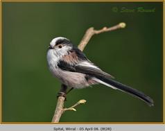 long-tailed-tit-28.jpg