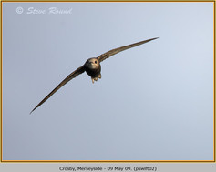 pallid-swift-02.jpg