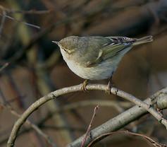 humes-warbler-02.jpg