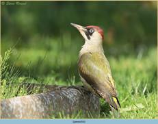 green-woodpecker-16.jpg