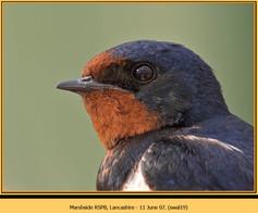 swallow-19.jpg