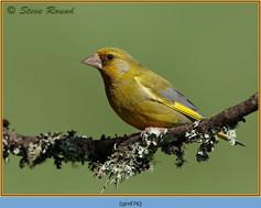 greenfinch-76.jpg