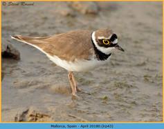 little-ringed-plover-43.jpg