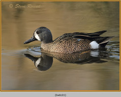 blue-winged-teal-01c.jpg