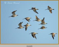 bar-tailed-godwit-08.jpg