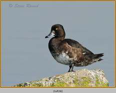 tufted-duck-38.jpg