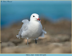 audouin's-gull-44.jpg
