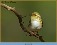 wood-warbler-78.jpg