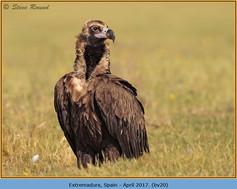 black-vulture-20.jpg