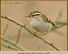 pallas's-warbler-02.jpg