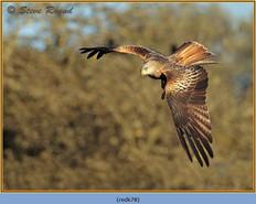 red-kite-78.jpg