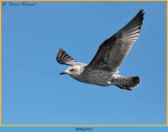 lesser-black-backed-gull-141.jpg
