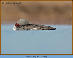 red-throated-diver- 99.jpg
