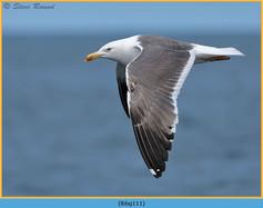 lesser-black-backed-gull-111.jpg