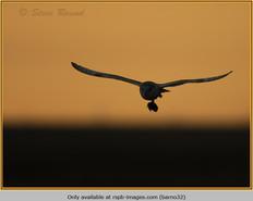 barn-owl-32.jpg