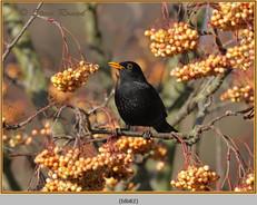 blackbird-82.jpg