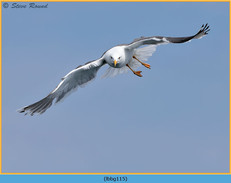lesser-black-backed-gull-115.jpg