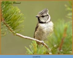 crested-tit-15.jpg