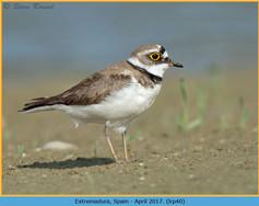 little-ringed-plover-40.jpg