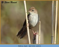 cettis-warbler-12.jpg