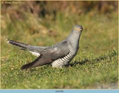 cuckoo-122.jpg